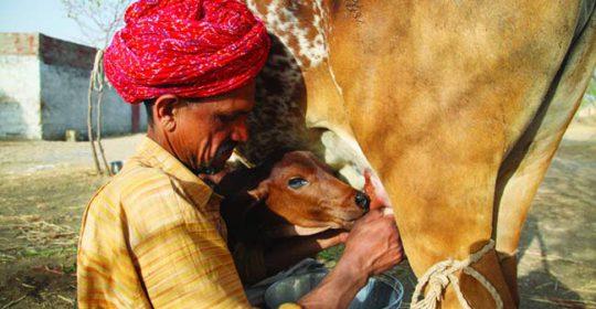 क्या आप भारतीय देशी गाय के दूध ही महिमा जानते है ?
