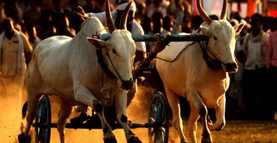 गौमूत्र किसका लें, गाय या बैल ?